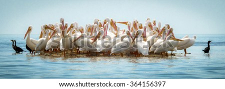 A group of pelicans cramed on a sand bar in the gulf of the Everglades National Park. - stock photo