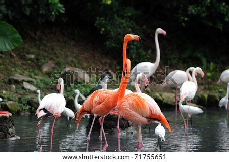 A group of pink flamingos at the local zoo - stock photo