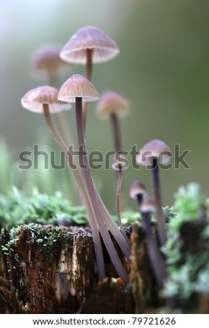 A group of poisonous mushrooms (fungus, toadstools) and moss on rotten stump - stock photo
