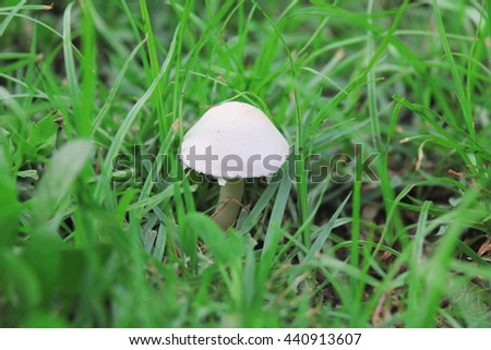 A group of poisonous mushrooms (fungus, toadstools) in the forest - stock photo