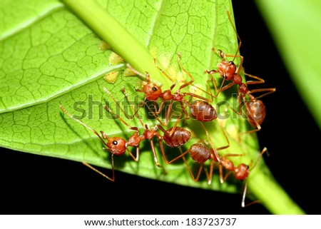 A group of red ants - stock photo