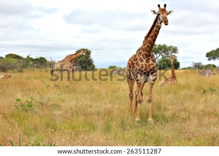 A group of Rothschild's giraffes in a game reserve. Unlike any other giraffe sub subspecies, the Rothschild's giraffe does not display any markings on the lower legs. - stock photo