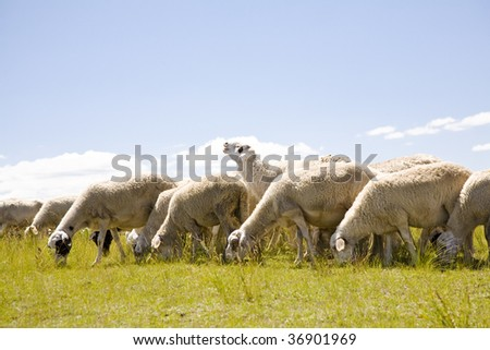 A group of sheep in the meadow - stock photo