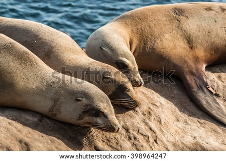 A group of three seals sleeping on a cliff in the morning light at La Jolla Cove in La Jolla, California. - stock photo
