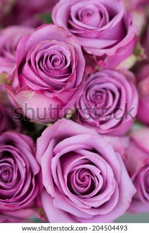 A group of violet blooming roses - stock photo