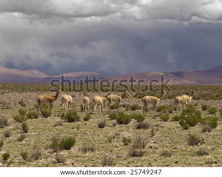 A group of wild guanacos in a remote and desolate landscape. - stock photo