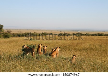 A group of wild lions in the savannah, Kenya - stock photo