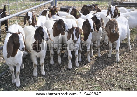 A group of young African Boer Goat on in the paddock farm. - stock photo
