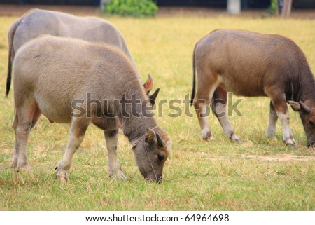 a group of young buffaloes - stock photo