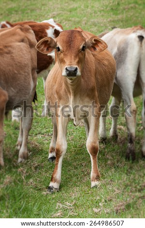 a group of young cattle calves standing in a grassy field looking curiously showing the front view with face and legs - stock photo