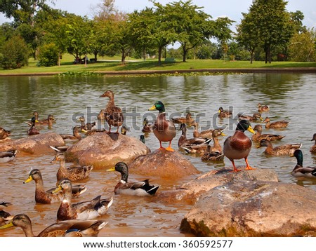 A grouping of wild Mallard ducks enjoy a sunny afternoon on a grouping of rocks in a pond. - stock photo