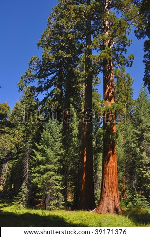 A Grove of Giant Sequoia in Yosemite national Park. - stock photo