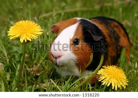 A guinea pig or cavy sitting in a spring field with flowers - stock photo