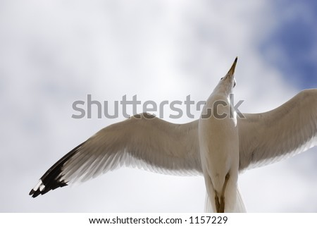 A gull eyes the photographer as he's captured in flight. - stock photo