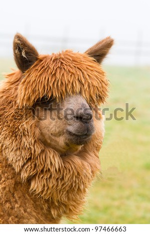 A hairy brown Alpaca in profile - stock photo