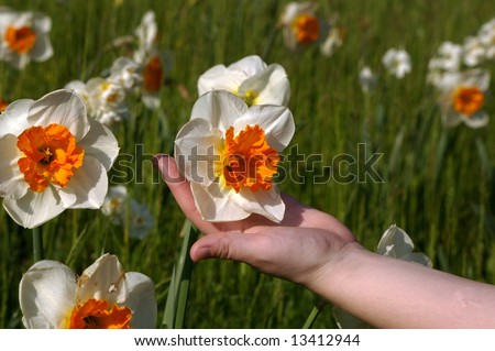A hand holding a beautiful white and orange daffodil - stock photo