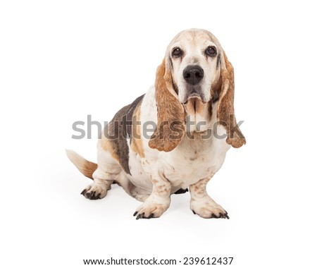 A handsome Basset Hound sitting looking into the camera - stock photo