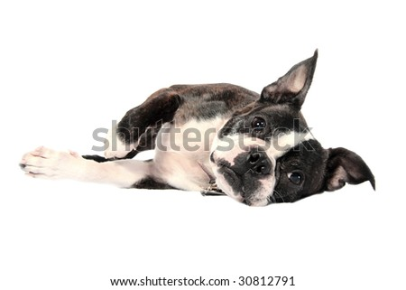 A handsome Boston Terrier on his side in front of a white background - stock photo