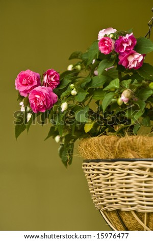 A hanging woven basket full of bright pink double impatiens. - stock photo