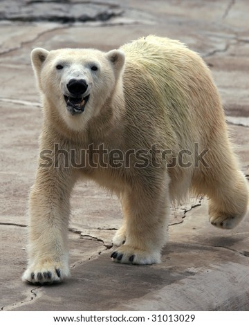 A happy adult female polar bear (ursus maritimus) walking - stock photo