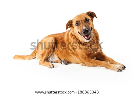 A happy adult large mixed breed golden color dog laying down with a smile on his face - stock photo