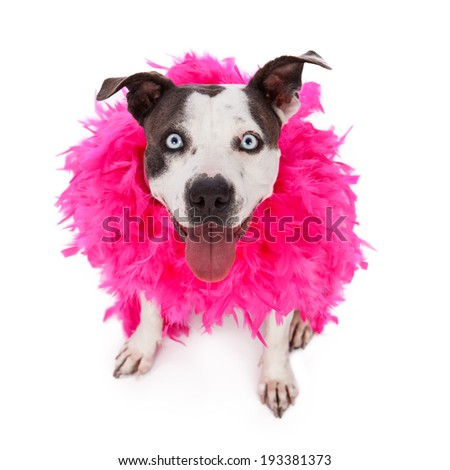 A happy and friendly Pit Bull dog wearing a pink feather boa  - stock photo