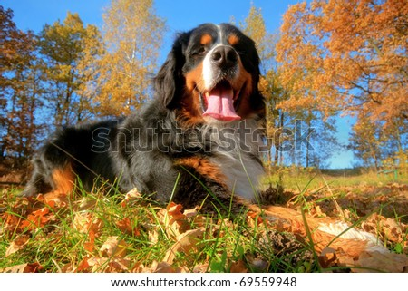 A happy Bernese mountain dog lying on grass during a sunny, fall day - stock photo