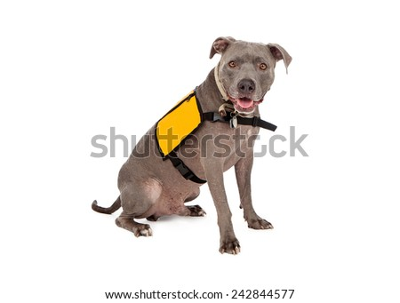 A happy blue Pit Bull dog wearing a blank yellow vest for you to enter text onto - stock photo