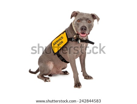A happy blue Pit Bull dog wearing a yellow service dog vest - stock photo