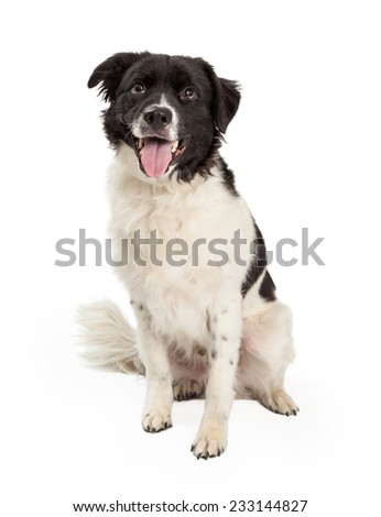 A happy Border Collie Mix Breed Dog sitting while looking forward. Mouth is open and tongue is out.  - stock photo