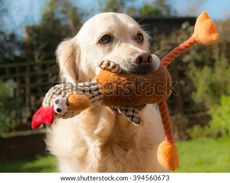 A happy dog holding a soft toy - stock photo