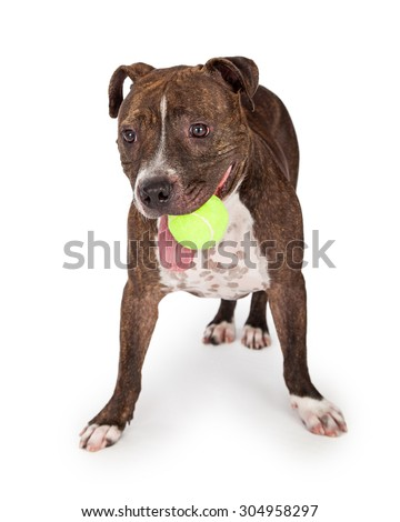 A happy Staffordshire Bull Terrier Dog carrying a tennis ball while its tongue hangs out of its mouth - stock photo