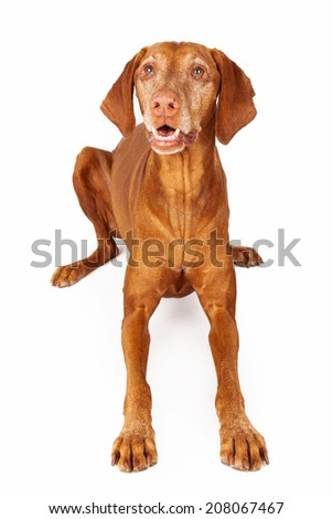A happy Vizsla breed dog laying and looking up with an open mouth and happy expression - stock photo