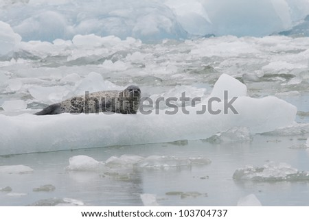 A Harbor Seal on an icberg in Tracy Arm Alaska - stock photo