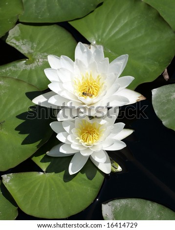 A hardy day flowering waterlily with a bee inside - stock photo