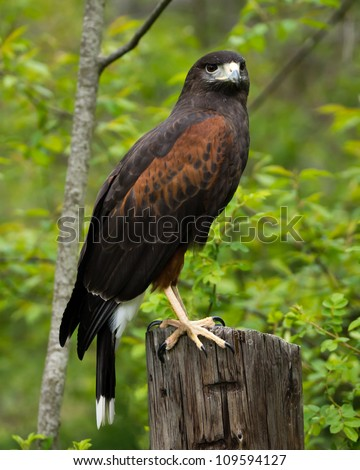 A Harris Hawk perches on an old post. - stock photo