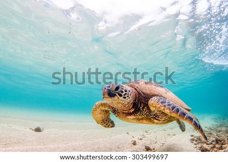 A Hawaiian Green Sea Turtle cruises in the warm waters of the Pacific Ocean - stock photo