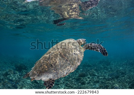 A Hawksbill sea turtle (Eretmochelys imbricata) surfaces to breathe in Indonesia. This is an endangered species which usually spends its time in shallow lagoons and on coral reefs. - stock photo