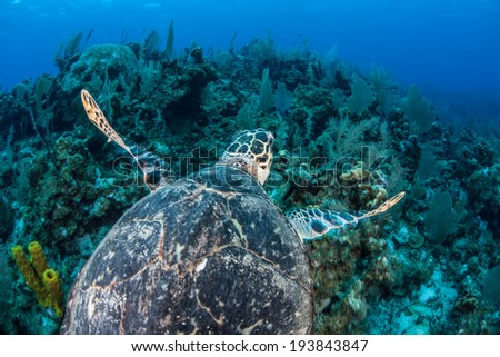 A Hawksbill sea turtle swims above a coral reef near the island of Grand Cayman in the Caribbean Sea. This is an endangered species but common around the Cayman islands. - stock photo