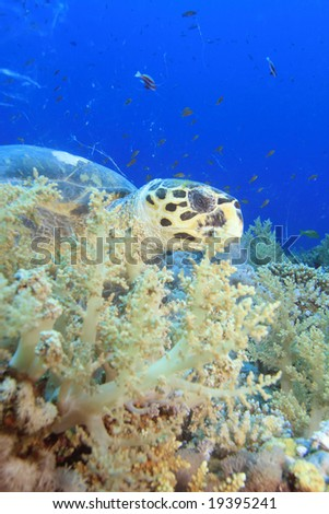 A Hawksbill Turtle eating soft corals - stock photo