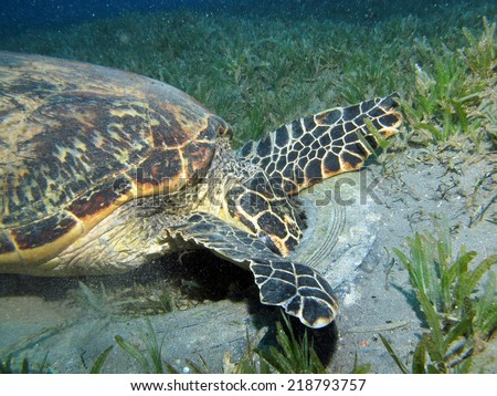 A hawksbill turtle (Eretmochelys imbricata) eating something from inside a car tire  - stock photo