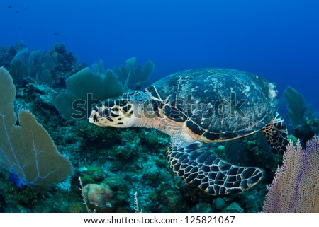 A Hawksbill turtle (Eretmochelys imbricata) is a critically endangered species that exists worldwide.  Here it is pictured in the Caribbean Sea. - stock photo