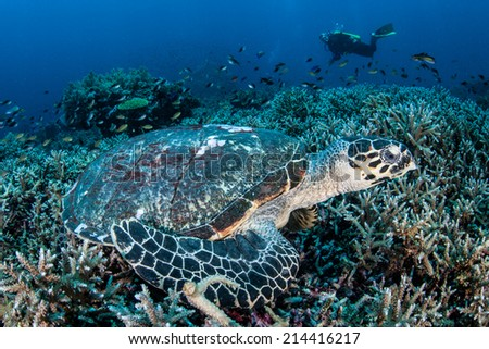 A Hawksbill turtle (Eretmochelys imbricata) lays on a coral reef near the island of Komodo in Indonesia. This endangered species is found world wide in tropical seas. - stock photo