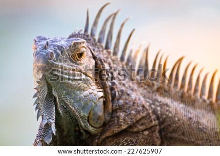 A head of iguana looking froward - stock photo