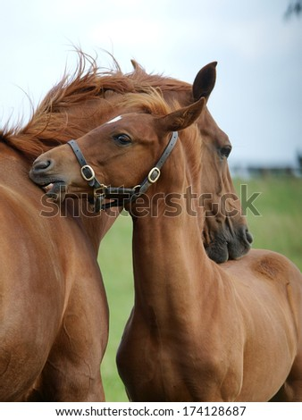 A head shot of a pretty chestnut foal scrating its mum. - stock photo