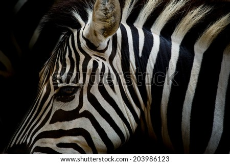 A Headshot of a Burchell's Zebra - stock photo