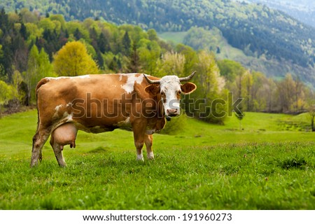 A healthy and well fed cow on a pasture in the mountains, with selective focus - stock photo