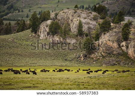 A heard of bison graze on grass in Yellowstone National Park - stock photo