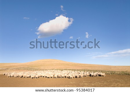 A heard of sheep in Patagonia - stock photo