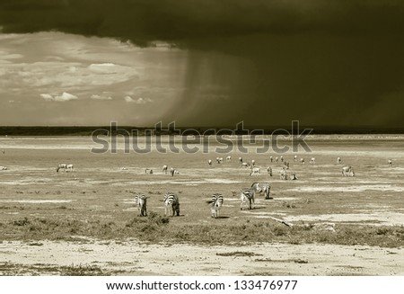 A herb of zebras and the approaching storm in the Lake Manyara National Park - Tanzania, Eastern Africa (stylized retro) - stock photo